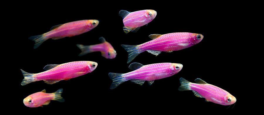Для пород рыб Данио и Рерио, минимальная необходимая концентрация кислорода составляет 5мг/л.